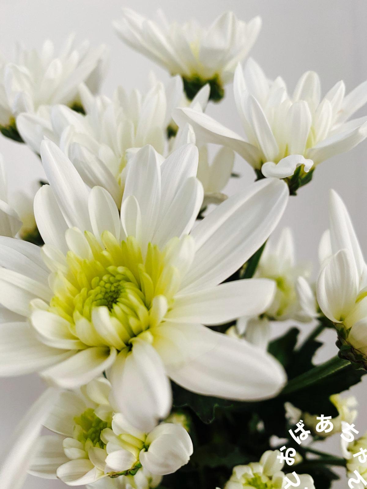 私の撮影した白菊です